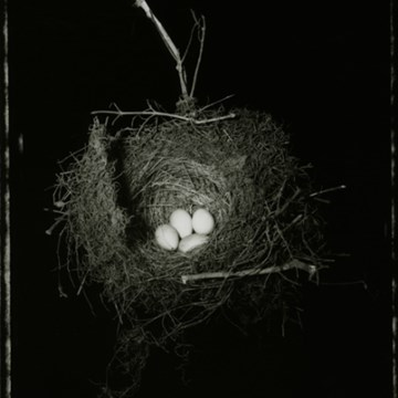 Tui nest with 4 eggs